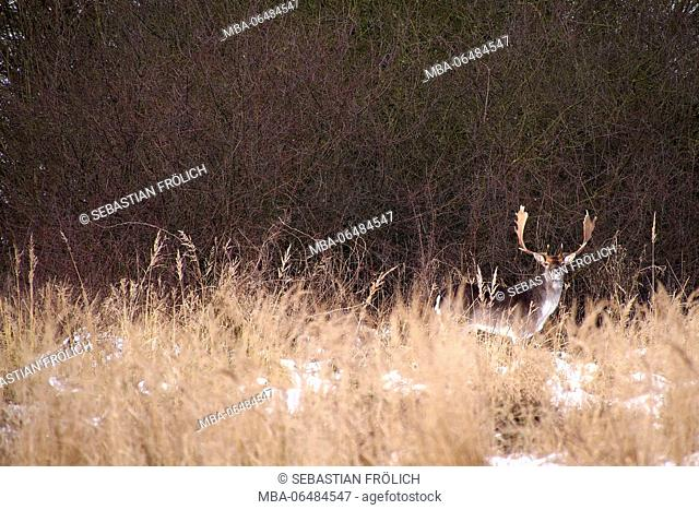 well disguised fallow buck in the reed