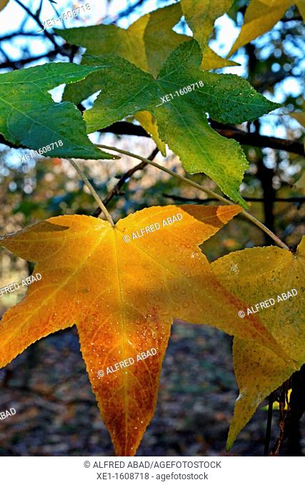 leaves, forest, Vallgorguina, Catalonia, Spain