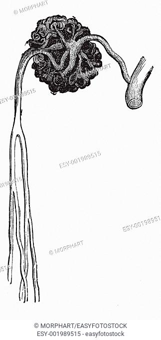 Malpighian body, vintage engraving  Old engraved illustration of Malpighian body structure with its functioning parts and their names