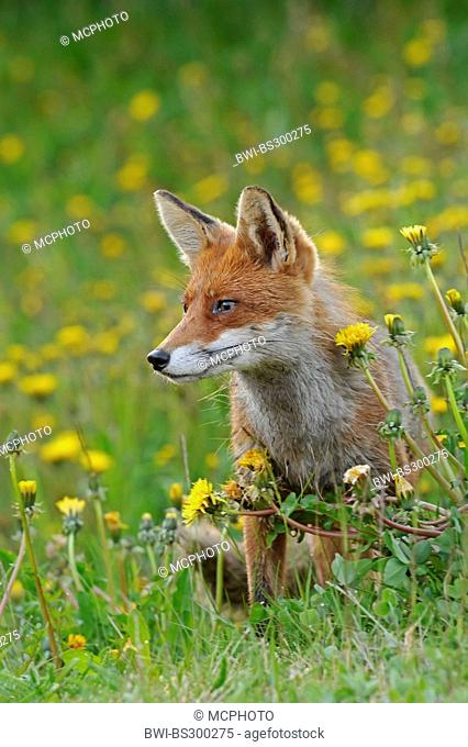 red fox (Vulpes vulpes), sitting in blooming dandelion meadow, Norway