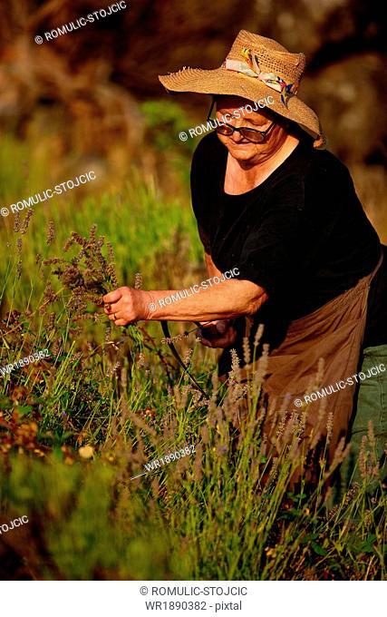Senior Woman Harvesting Lavender, Island Hvar, Dalmatia, Croatia, Europe