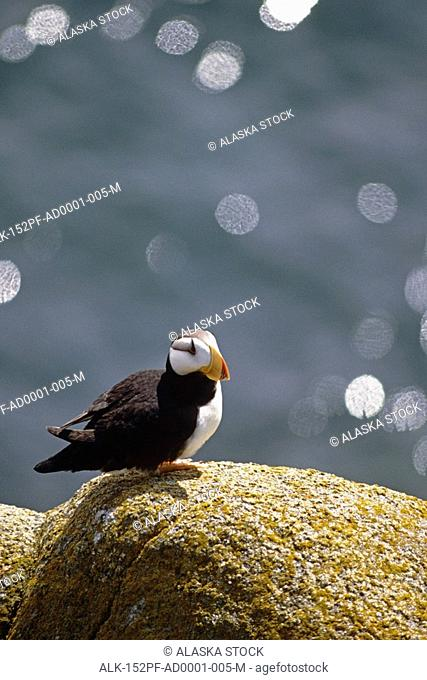 Horned puffin on rock ledge Round Isl Sanctuary W AK