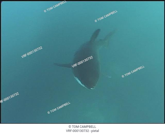 Great white shark Carcharodon carcharias, swims. South African waters