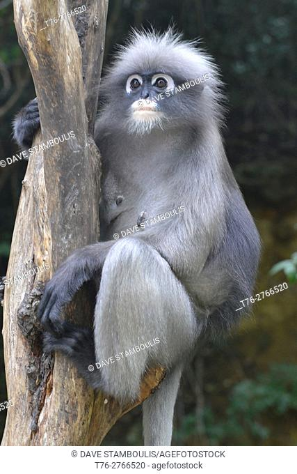 Closeup of a dusky langur (specatacled leaf monkey), Prachuap Khiri Khan, Thailand