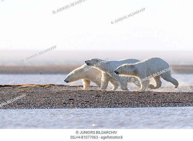 Polar Bear (Ursus maritimus, Thalarctos maritimus). Mother with two cubs walking on a barrier island. Kaktovik, Alaska. Every fall polar bears gather near...