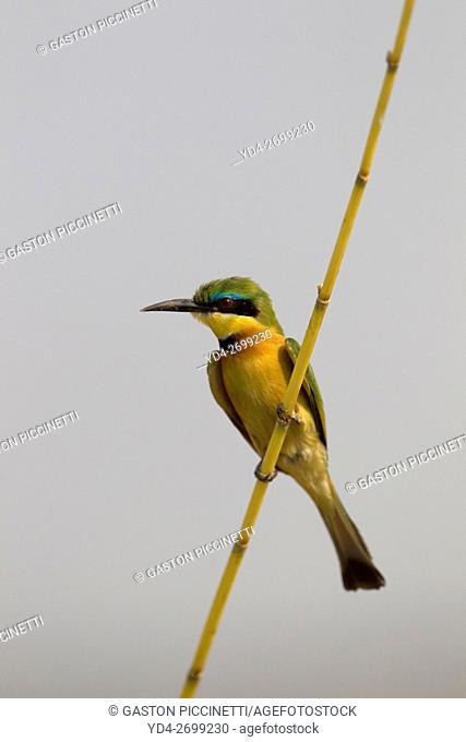 Little bee-eater (Merops pusillus), Chobe National Park, Botswana