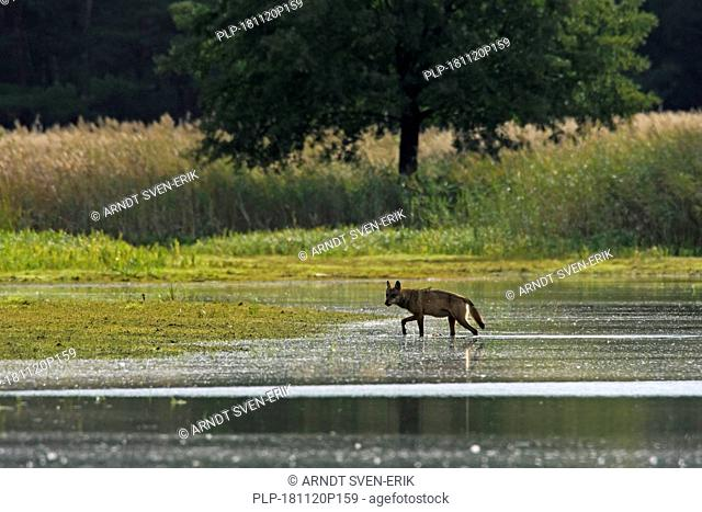 Solitary European gray wolf / wild grey wolf (Canis lupus) walking in shallow water of pond, Saxony / Sachsen, Germany