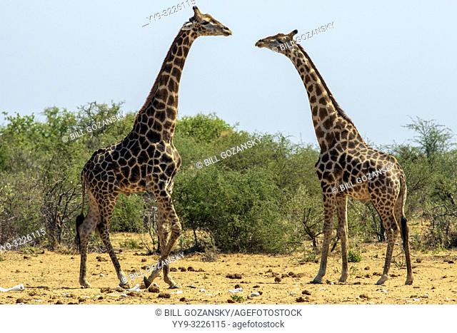 Male Giraffe facing off at Tsumcor Waterhole - Etosha National Park, Namibia, Africa