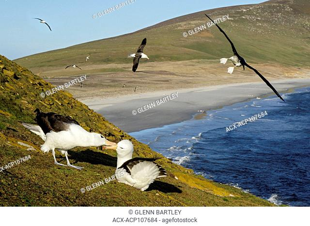 Black-browed Albatross (Thalassarche melanophris) at a nesting colony in the Falkland Islands