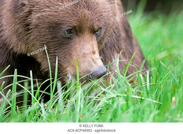 A Grizzly sow ursus Arctos enjoys the lush Sedge grasses in the Khutzeymateen protected Grizzly preserve, North of Prince Rupert