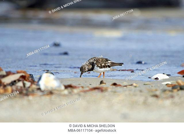 Ruddy Turnstone, Arenaria interpres, side, standing, shore, beach, Helgoland