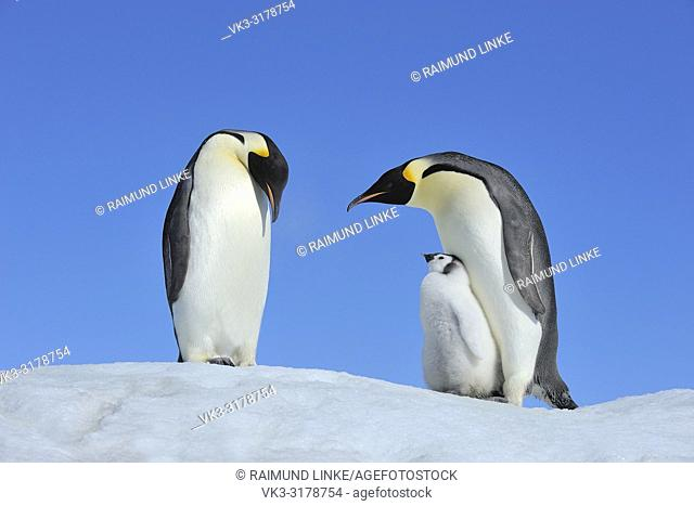 Emperor penguins, Aptenodytes forsteri, Pair with Chick, Snow Hill Island, Antartic Peninsula, Antarctica