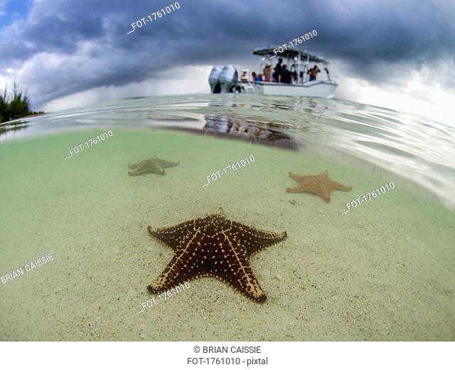 Starfish in shallow water on Starfish Beach, Grand Cayman, Cayman Islands