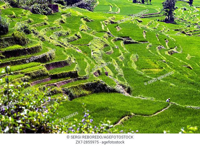 Rice paddies in Bungamati, around Kathmandu Valley, Nepal