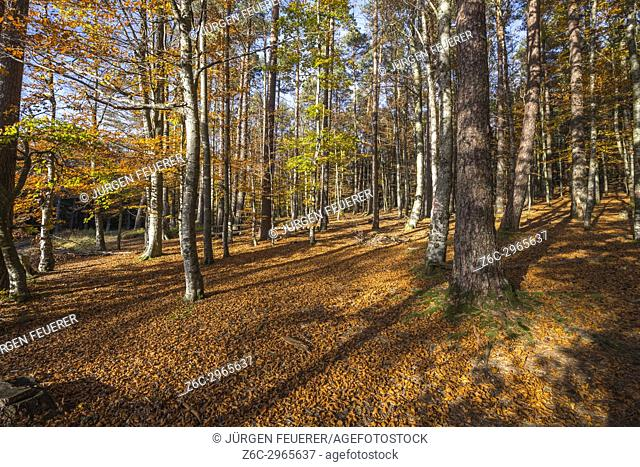 autumn forest, Mont Sainte-Odile, in German Odilienberg, peak in the Vosges Mountains, Alsace, France