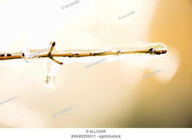 twig covered with ice, frozen rain, Austria