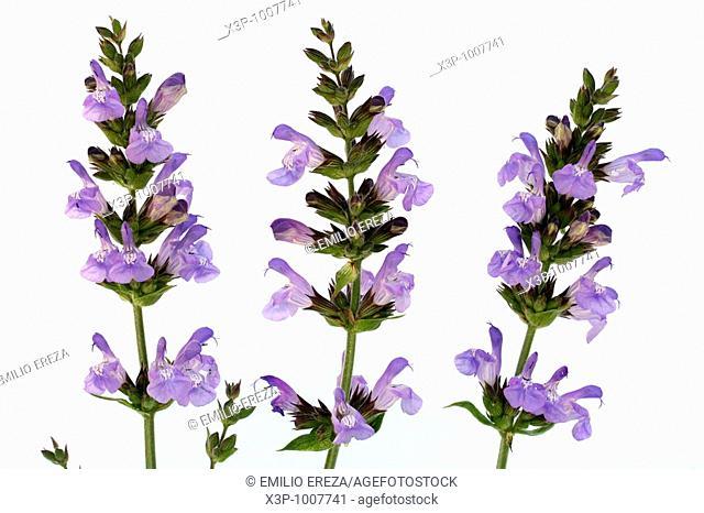 Salvia Salvia offiicinalis