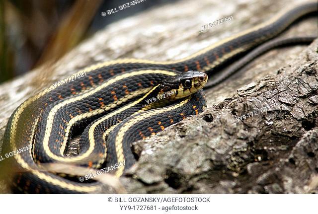 Garter Snake - Smuggler's Cove Provincial Park - Halfmoon Bay - Sunshine Coast, British Columbia, Canada