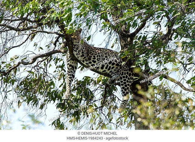 Kenya, Masai-Mara game reserve, leopard (Panthera pardus), resting