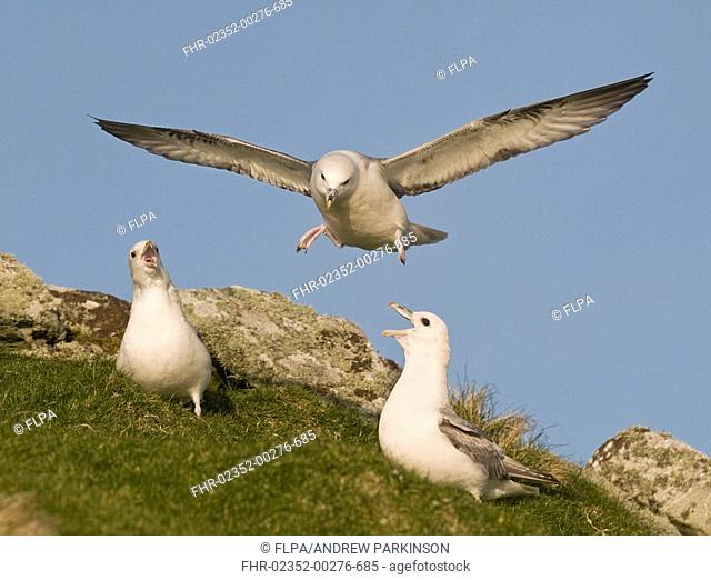 Northern Fulmar Fulmaris glacialis adult pair, displaying cackling call, fulmar hovering above, Monach Islands, Outer Hebrides, Scotland, may