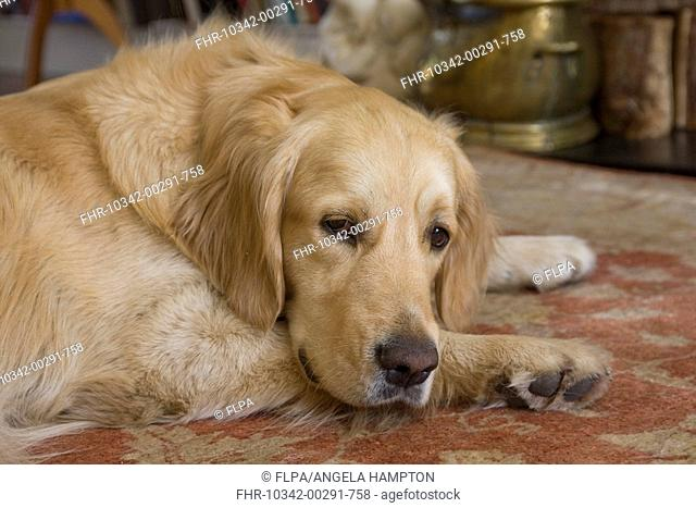 Domestic Dog, Golden Retriever, adult, close-up of head, laying on rug in lounge, England
