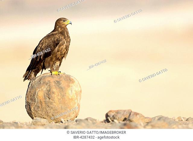 Steppe Eagle (Aquila nipalensis), perched on a boulder, Salalah, Dhofar, Oman