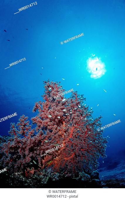 Coral Fishes between Godeffroys Soft Coral, Siphonogorgia godeffroyi, Pacific, Micronesia, Palau