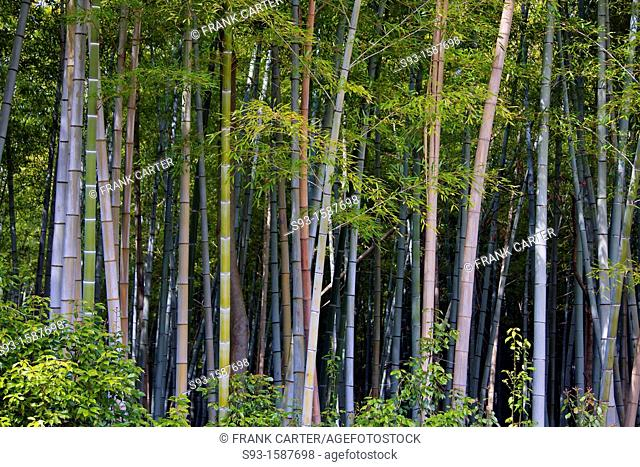 A pleasing shot of bamboo in the Sagano area