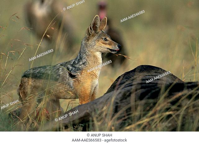 Black-backed Jackal (Canis mesomelas) at kill, Serengeti National Park, Tanzania
