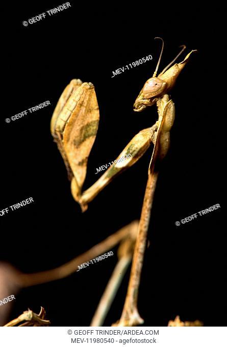 Praying mantis (Violin mantis) - Taken under controlled conditions - UK