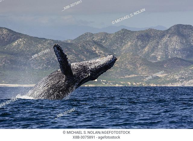Adult humpback whale, Megaptera novaeangliae, breaching in the shallow waters of Cabo Pulmo, BCS, Mexico