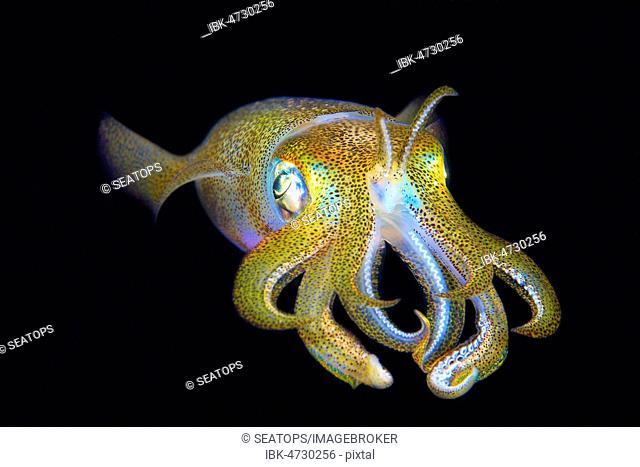 Bigfin reef squid (Sepioteuthis lessoniana), Sabang Beach, Mindoro, Philippines