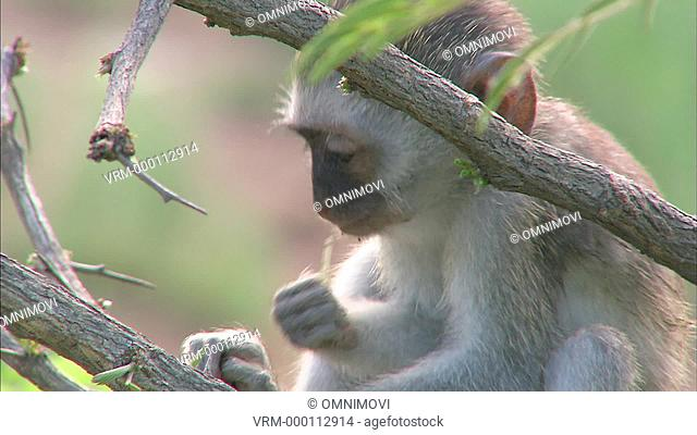 MS Vervet Monkey eating / Vervet Monkey Foundation, Tzaneen, South Africa