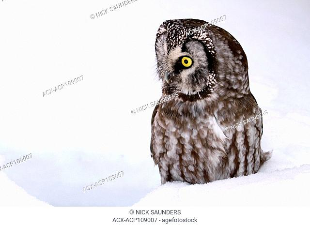 A Boreal Owl, Aegolius funereus, sitting in the snow in Saskatoon, Saskatchewan,Canada