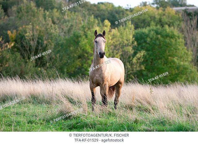 Quarab Horse stallion