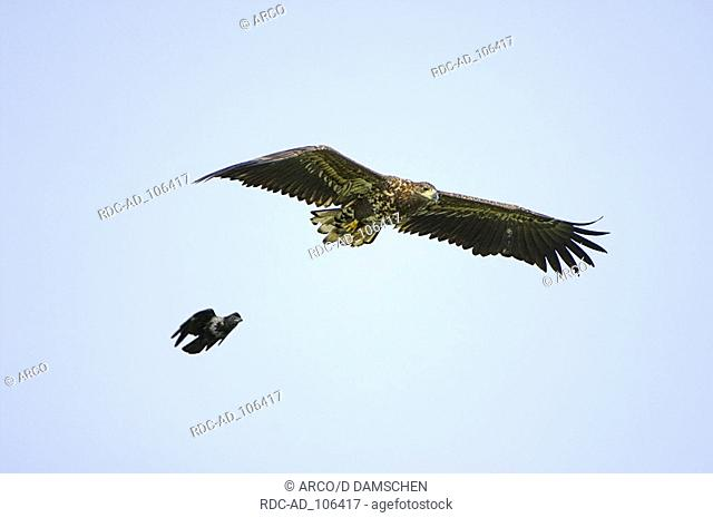 Juvenile White-tailed Sea Eagle attacked by Hooded Crow Lower Saxony Germany Haliaeetus albicilla Corvus corone cornix