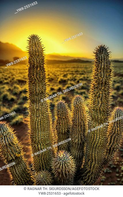 Cacti at sunset, Wolwedans Dunes Lodge, Namibia, Africa