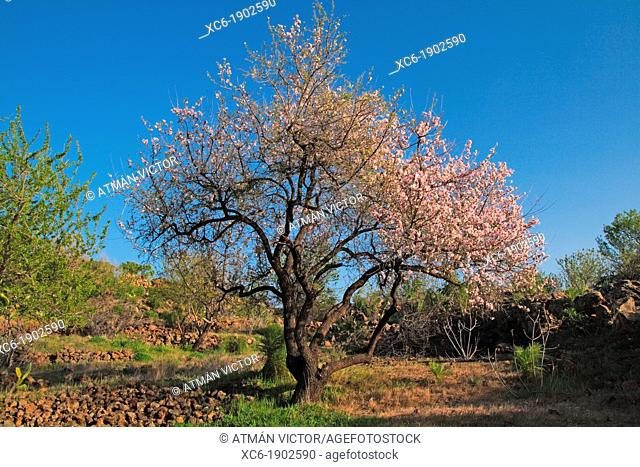 Almond blossom in Santiago del Teide Tenerife