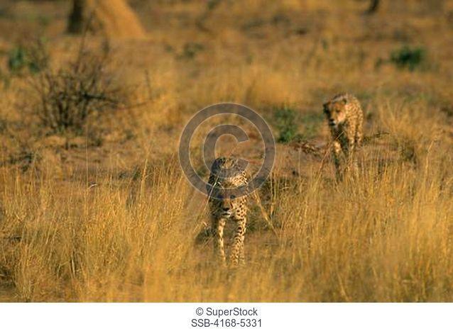 namibia, okonjima, cheetahs acinonyx jubatus