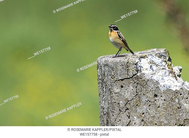 Germany, Saarland, Bexbach - A whinchat is sitting on his vantage-point