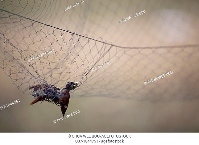 Dead bird trapped by the net. Image taken at Kampung Skudup, Sarawak, Malaysia