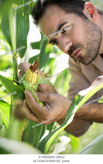 Farmer inspecting corn in field