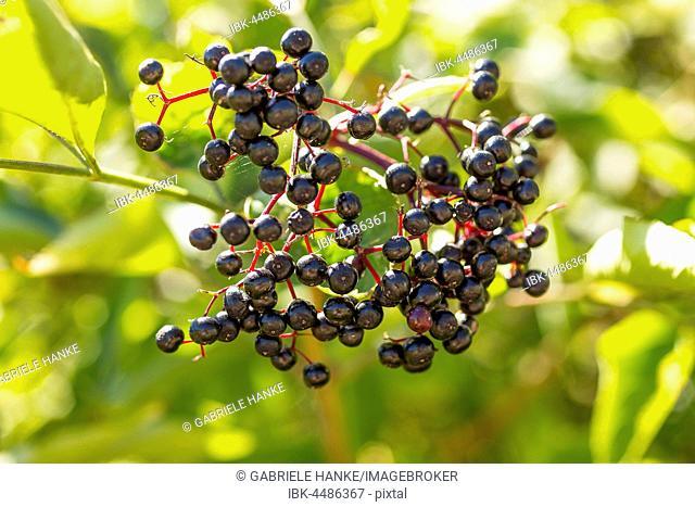 Ripe berries on the tree, black elderberry (Sambucus nigra), Germany