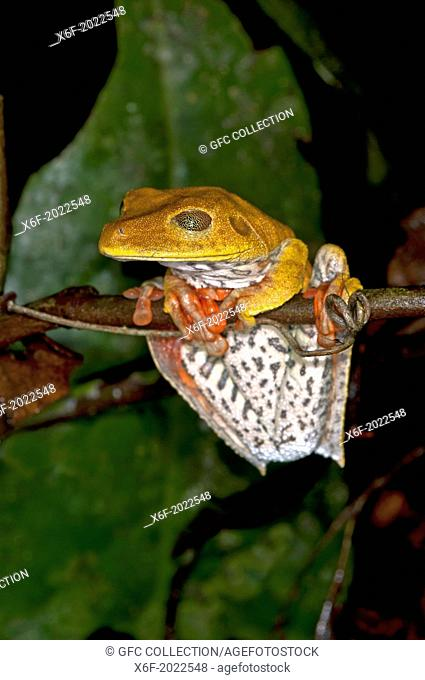 Map tree frog (Hypsiboas geographicus) in habitat, the semi-translucent palpebral membrane (eyelid) has golden-colored reticulations, Tambopata Nature Reserve