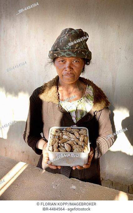 Breeder presenting farmed silkworm (Bombyx mori) cocoons, silkworm farm, Tsaramadoandro village, Bongolava region, Madagascar