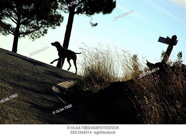 A dog walking along Passeig de les Aigües. Collserola mountain, Barcelona, Catalonia, Spain