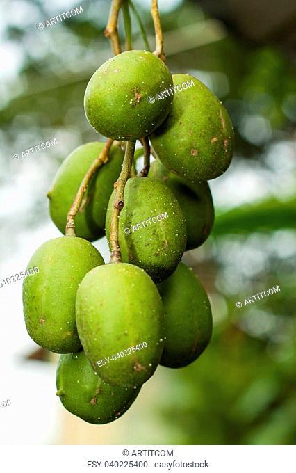 Olives On It%u2019s Tree Branch