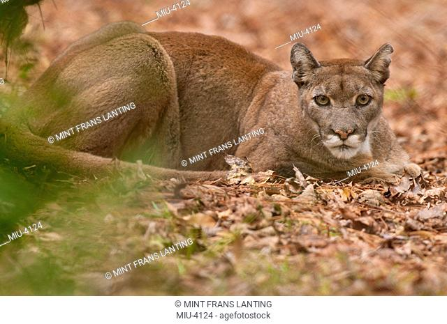 Florida panther, Puma concolor coryi, White Oak Conservation Center, Florida, USA