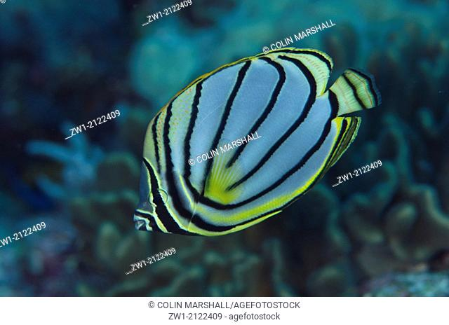 Meyer's Butterflyfish (Chaetodon meyersi) at Reong West dive site off Wetar Island near Alor in eastern Indonesia