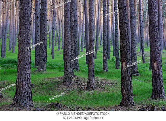 Pine wood of Navafria, Segovia, Spain